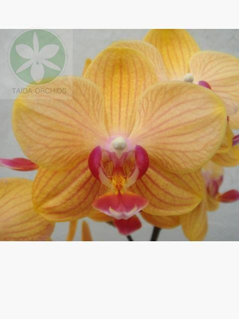 展壯台大蘭園,【A10955】Phal. KS Golden Lady