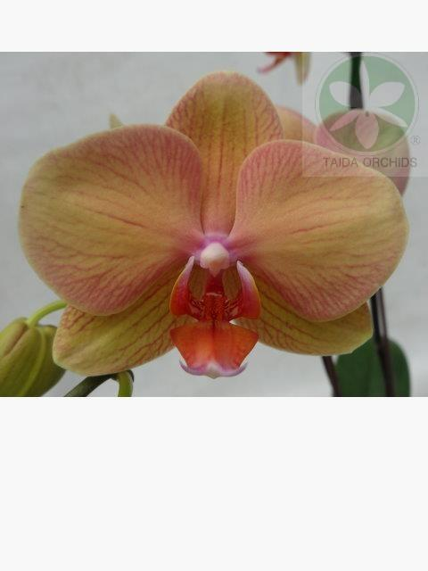展壯台大蘭園,【A10709】Phal. Ark's Green Angel