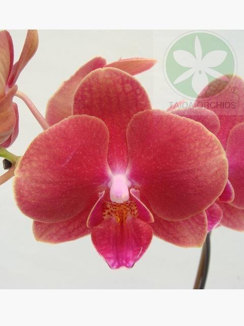 展壯台大蘭園,【A08118】Phal. K S Sweet Diamond