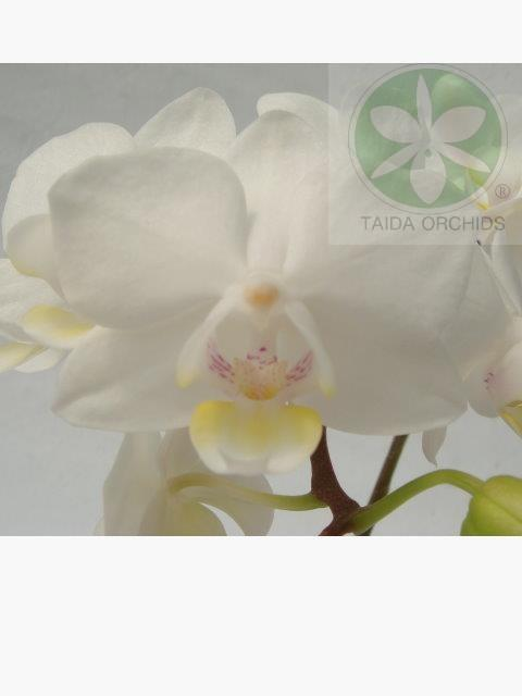 展壯台大蘭園,【A08075】Phal. Timothy Christopher